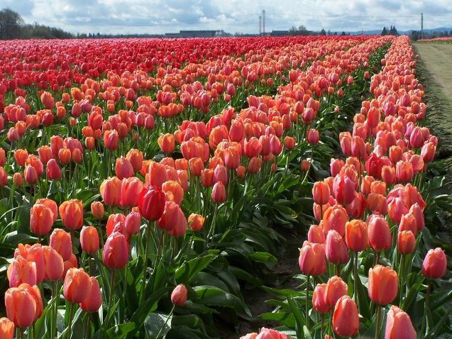 Mỹ: 7 cánh đồng hoa tulip không nên bỏ qua trong mùa xuân này - 4