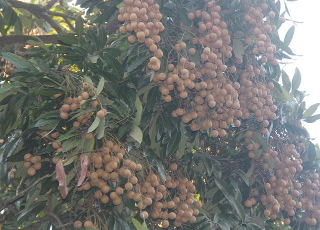 Cây nhãn tổ ở Quốc Oai cho quả ngọt sắc, cùi dày thơm ngon