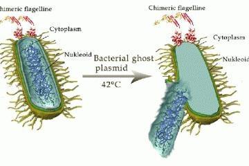 Ly giải vi khuẩn được coi như vaccine đường miệng tại châu Âu