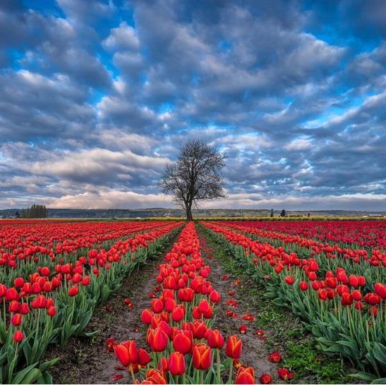 Mỹ: 7 cánh đồng hoa tulip không nên bỏ qua trong mùa xuân này - 5