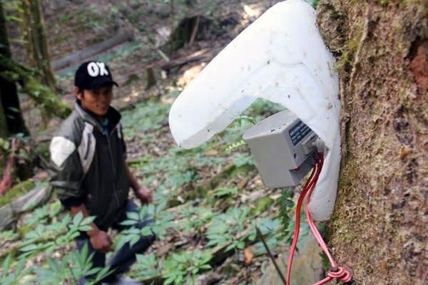 Ngoài đặt bẫy, nhiều chủ vườn sâm còn đặt máy báo tự động để đuổi chuột và thú rừng đồng thời phát hiện kẻ lạ xâm nhập vùng sâm