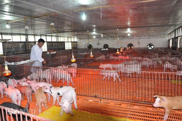 Ông Nguyễn Trọng Long kiểm tra sức khỏe đàn lợn giống tại trang trại của gia đình ở huyện Thanh Oai (Hà Nội).