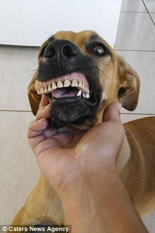 Chú chó nổi tiếng vì có hàm... răng người