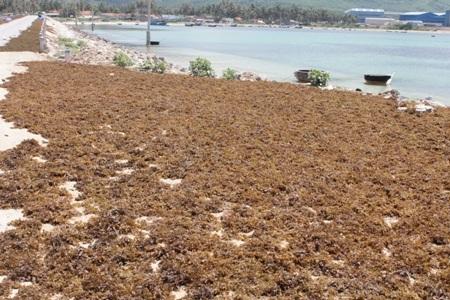 Rong đang phơi đầy tại Mỹ Giang