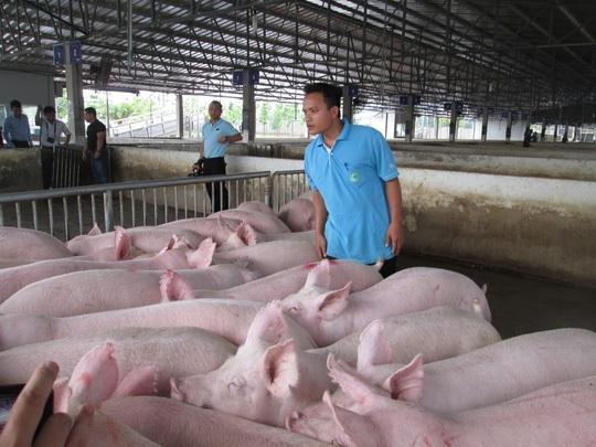 Giá lợn hơi tăng cao, việc tiêu thụ của bà con đã thuận lợi hơn trước.