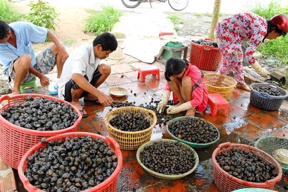 Hiện nay đang vào mùa lũ nhiều gia đình sống khỏe nhờ vào nghề bắt ốc bươu vàng và cả ốc lát