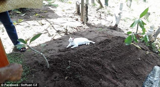 Con mèo nằm trên mộ người chết và nhất quyết không rời đi.