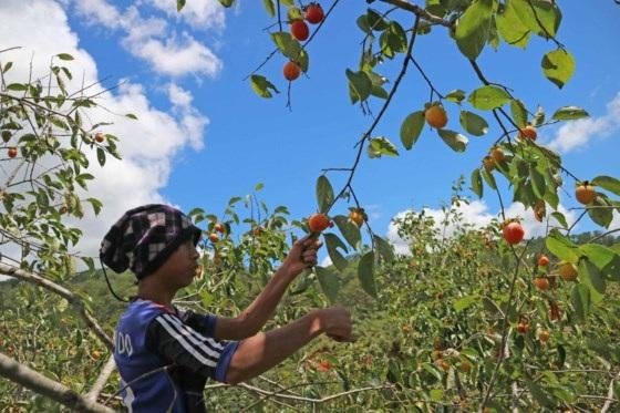 Hồng Đà Lạt thường trồng từ 6-7 năm mới có thể thu hoạch.