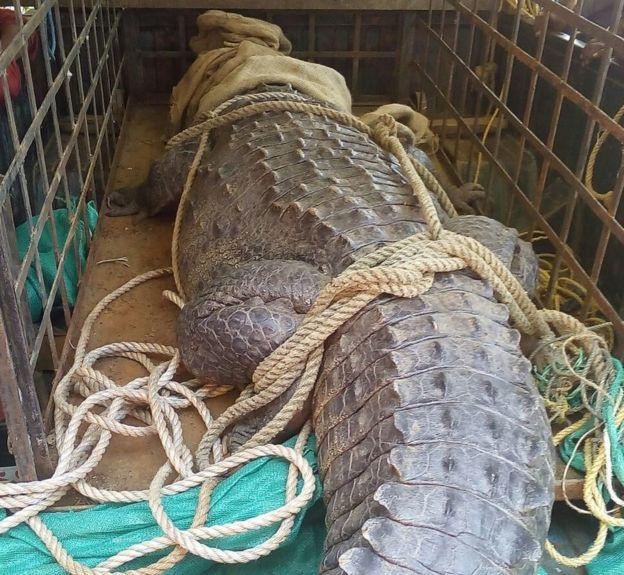 Những người dân làng hoảng loạn định giết cá sấu, nhưng bị người đứng đầu làng phản đối.