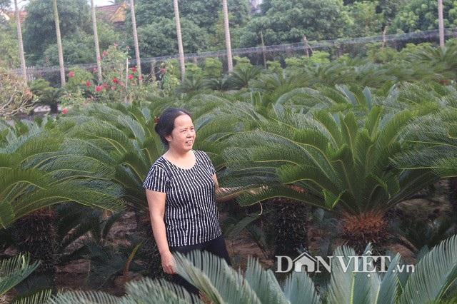 Đến nay, cô Nguyễn Thị Ngoan đã trồng vạn tuế được gần 10 năm, trung bình mỗi cây vạn tuế cao từ 1,3 – 1,5m, cá biệt có những cây to cao hơn 2 m.