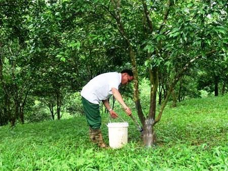 Ông Lưu Chấn Thụ đang kiểm tra tình hình sâu bệnh ở những gốc quýt đặc sản Quang Thuận.