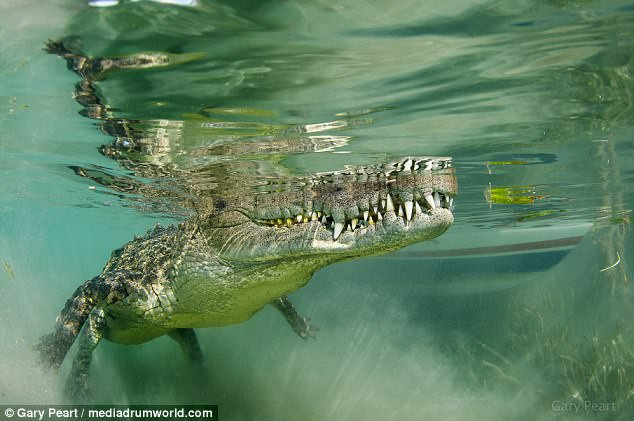 Liều lĩnh bơi sát cá sấu 3m để chụp ảnh cho nét - 4