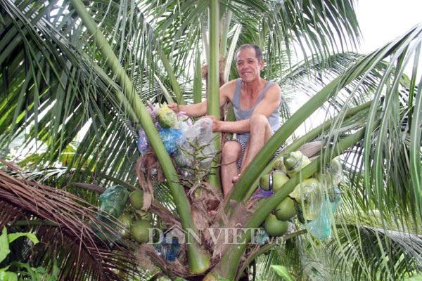 """Ông Phúc thường xuyên bỏ ăn, bỏ ngủ """"treo mình"""" lên những cây dừa."""