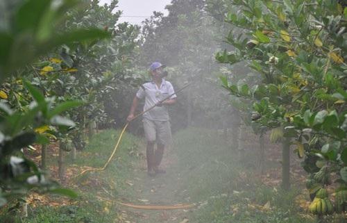 Người dân phun thuốc trừ sâu, bệnh cho phật thủ ở làng Đắc Sở.