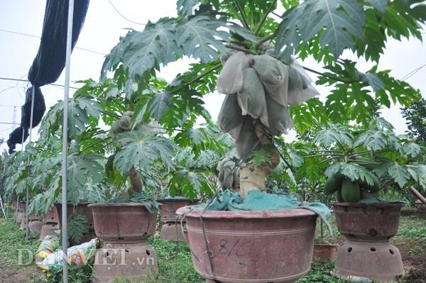 Đu đủ bonsai tán siêu độc tiền triệu hút hàng trước Tết - 5