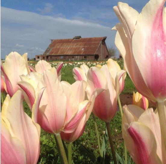 Mỹ: 7 cánh đồng hoa tulip không nên bỏ qua trong mùa xuân này - 6