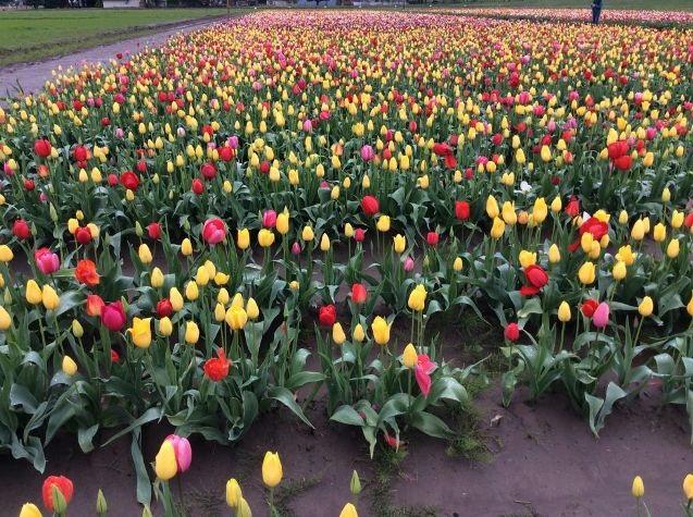 Mỹ: 7 cánh đồng hoa tulip không nên bỏ qua trong mùa xuân này - 7