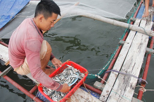 Chàng trai bỏ lương 9 triệu về làng nuôi cá lồng lãi 200 triệu đồng/năm - 3