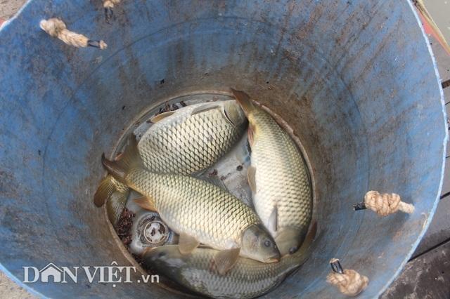 Chơi sang cho cá chép ăn đậu Úc, nông dân Thái Bình thu tiền tỷ - 3