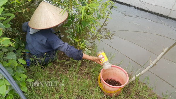 Các thợ săn cáy chỉ cần đặt các chai nhựa đã cắt miệng đặt ở các vệ bờ ruộng, ao là có thể bắt được cáy dễ dàng.