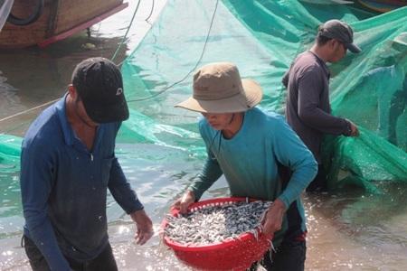 Ngư dân đang vận chuyển cá cơm vào bờ tiêu thụ. Ảnh: C.T