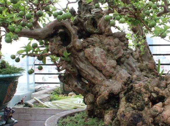 Cây ổi quý, hiếm, độc đáo có một không hai này được trồng trong một cái chậu xi măng lớn. Gốc cây ổi khá to, với đường kính khoảng 60cm.