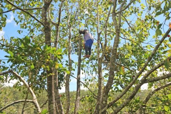 Những cây hồng cao từ 3 đến 7 mét, việc hái hồng cũng mất rất nhiều thời gian.