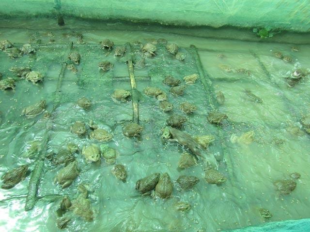 Đàn ếch nuôi trong vèo nổi trên mặt nước ao nuôi cá trê vàng lai. Ảnh: Phan Thị Anh Thư.