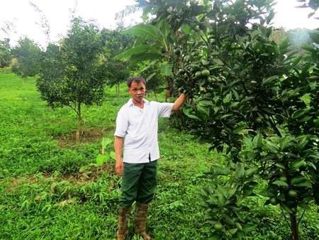 Những cây cam Vinh trong vườn đồi nhà ông Lưu Chấn Thụ đã cho ra mùa quả bói.