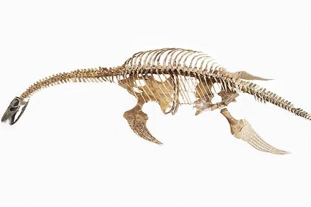 Bộ xương Plesiosaur mà các nhà khoa học tìm thấy dài khoảng 12 mét.