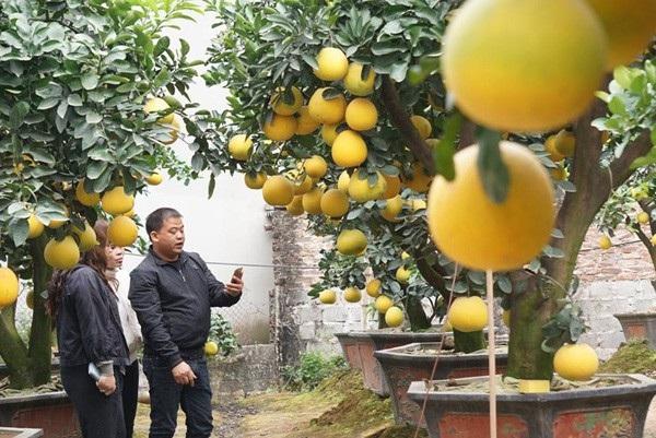 Anh Mến dẫn khách đi thăm quan, chọn cây bưởi chưng Tết tại nhà vườn của gia đình ở Hưng Yên.