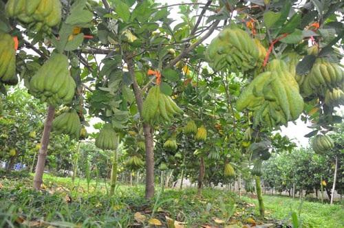 Những vườn bàn tay phật sai trĩu quả đã chuẩn bị sẵn sàng đón khách vào chọn mua.