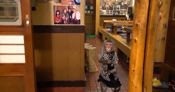 Thuê khỉ làm... bồi bàn, quán rượu ở Nhật Bản gây sốt - 3