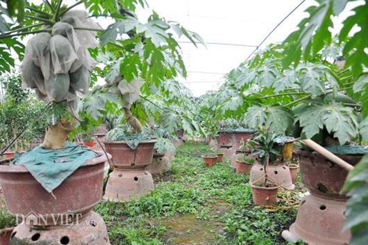 Đu đủ bonsai tán siêu độc tiền triệu hút hàng trước Tết - 6