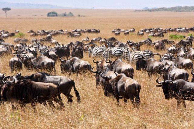 Những cuộc di cư đáng kinh ngạc của thế giới động vật - 9