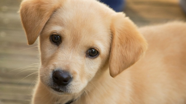 Người mua sắm trực tuyến Mỹ đã bị lừa hàng ngàn USD khi mua thú cưng qua mạng. (Nguồn: FOX Chicago News)