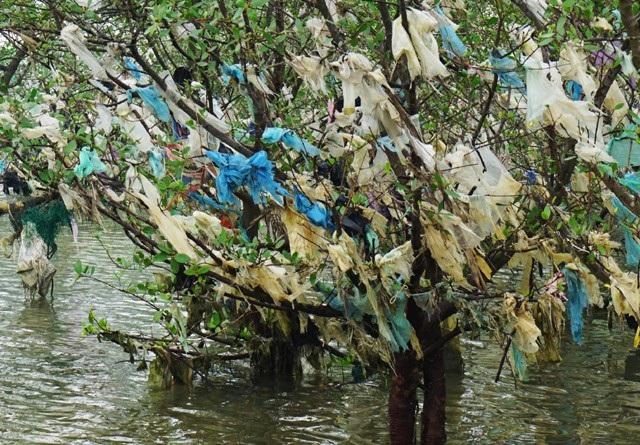 Những cây bần đang phải gánh bạt ngàn túi ni lông