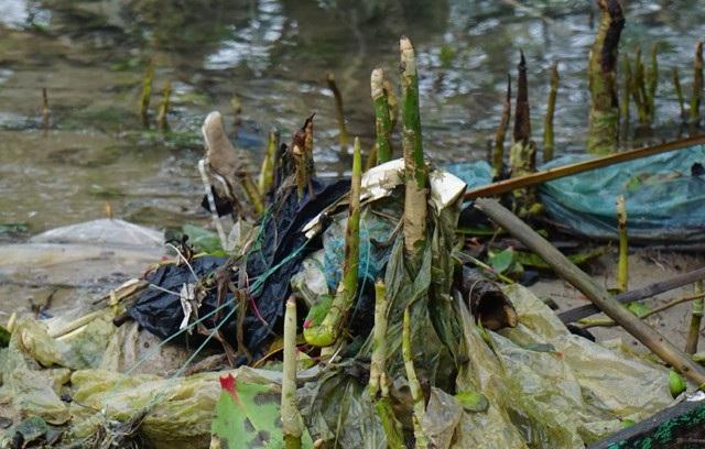 Những mầm cây hay bộ rễ của cánh rừng bần ngộp thở trong rác