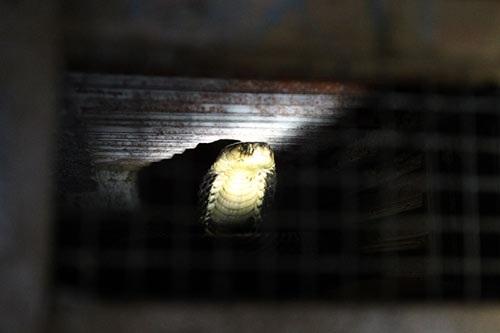 """""""Rắn hổ mang phì có nọc độc rất mạnh, nếu bị rắn cắn mà không cấp cứu kịp thời thì chỉ 20 phút là thiệt mạng. Ở làng này hầu như năm nào cũng có người thiệt mạng do rắn cắn, còn chuyện đưa đi cấp cứu thì xảy ra như cơm bữa."""" ông Quảng chia sẻ."""
