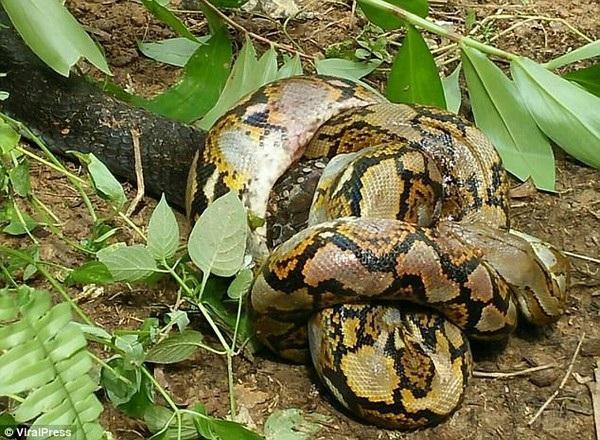 Cuộc chiến giữa rắn hổ mang chúa và trăn kéo dài 3 tiếng, với phần thắng nghiêng về rắn độc