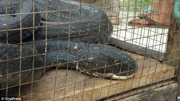 Kích cỡ của con rắn hổ mang chúa khiến nhiều người phải hoảng sợ