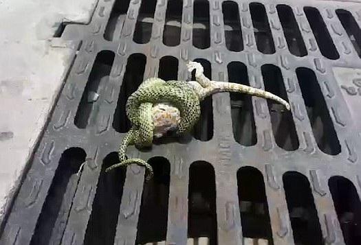 Bị con rắn siết chặt nhưng những nỗ lực cuối cùng đã giúp con tắc kè thoát ra