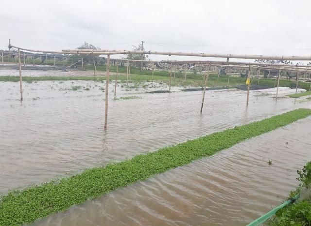 Mưa lớn kéo dài khiến nhiều diện tích rau màu ở Nghệ An bị ngập nước, hư hỏng