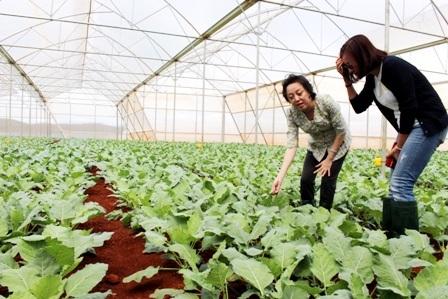 Mô hình trồng rau trong nhà kính đang mang lại hiệu quả cao theo định hướng nông nghiệp sạch
