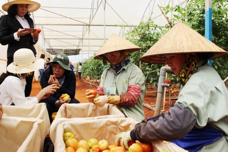 Rau của quả sạch có thể ăn ngay tại vườn, không sợ ảnh hưởng xấu tới sức khỏe