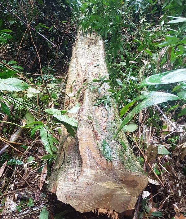 Cây gỗ dài hàng chục mét bị chặt hạ còn nằm tại rừng
