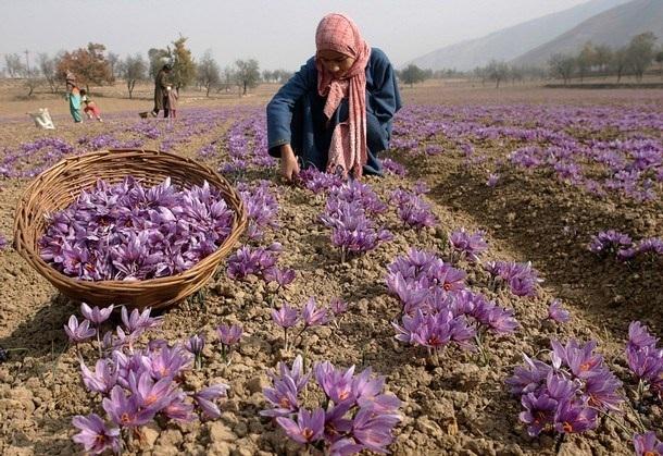 Thu hoạch nghệ tây ở Iran