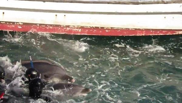 Cá heo mẹ cố gắng chiến đấu chống lại những người thợ săn để cứu con nhưng bất thành