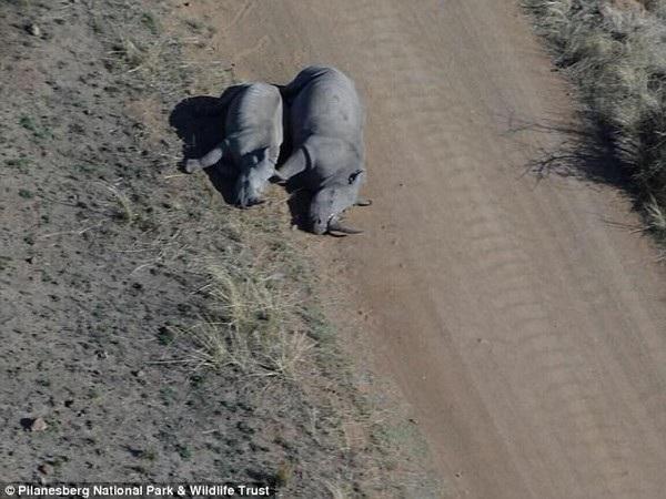 Những kẻ săn trộm đã bỏ trốn mà chưa kịp cắt đứt sừng của tê giác mẹ.