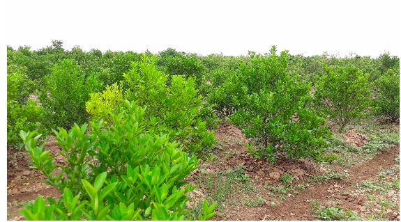 Vùng trồng quất xã Thành Lợi, huyện Vụ Bản, tỉnh Nam Định nằm biệt lập trên bán đảo ven sông đạt tiêu chuẩn Thực hành tốt trồng trọt và thu hái cây thuốc theo tiêu chuẩn của Tổ chức Y tế Thế giới (GACP-WHO)